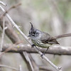 Cachudito común |  Anairetes parulus  |  Tufted Tit-Tyrant