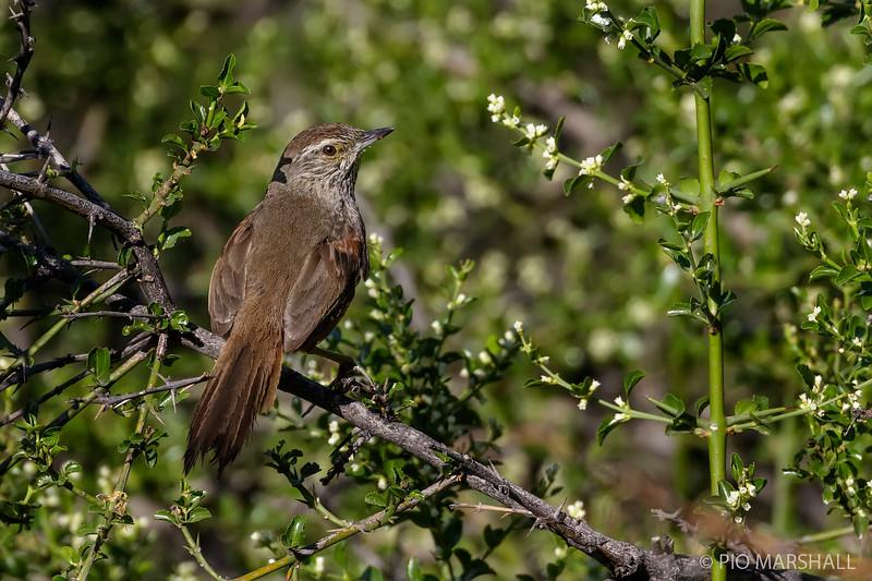 Canastero chileno   Pseudasthenes humicola   Dusky-tailed Canastero