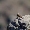 Canastero de cola larga    Asthenes pyrrholeuca     Sharp-billed Canastero