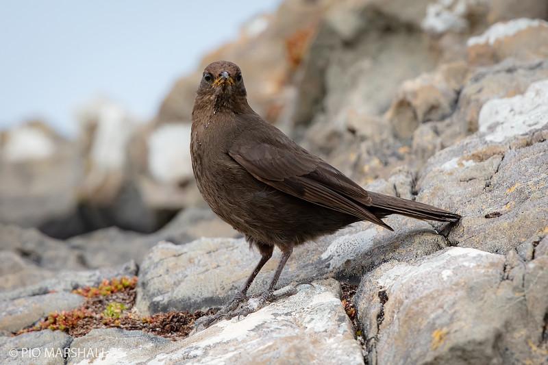 Churrete austral |  Cinclodes antarcticus  |  Blackish Cinclodes