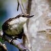 Comesebo grande |  Pygarrhichas albogularis  |  White-throated Treerunner