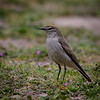 Dormilona de ceja blanca |  Muscisaxicola albilora  |  White-browed Ground-Tyrant