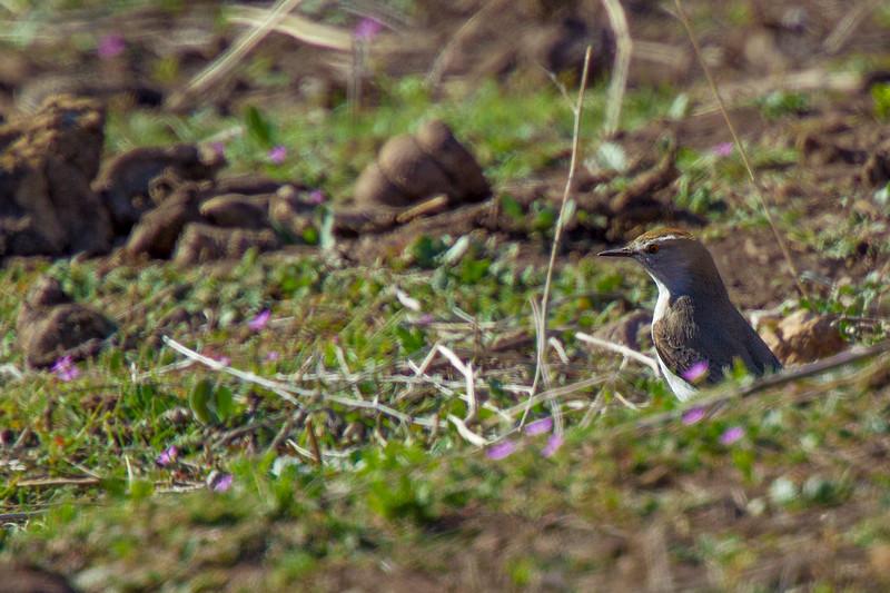 Dormilona de nuca rojiza | Muscisaxicola rufivertex | Rufous-naped Ground-Tyrant