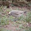 Dormilona fraile |  Muscisaxicola flavinucha  |  Ochre-naped Ground-Tyrant