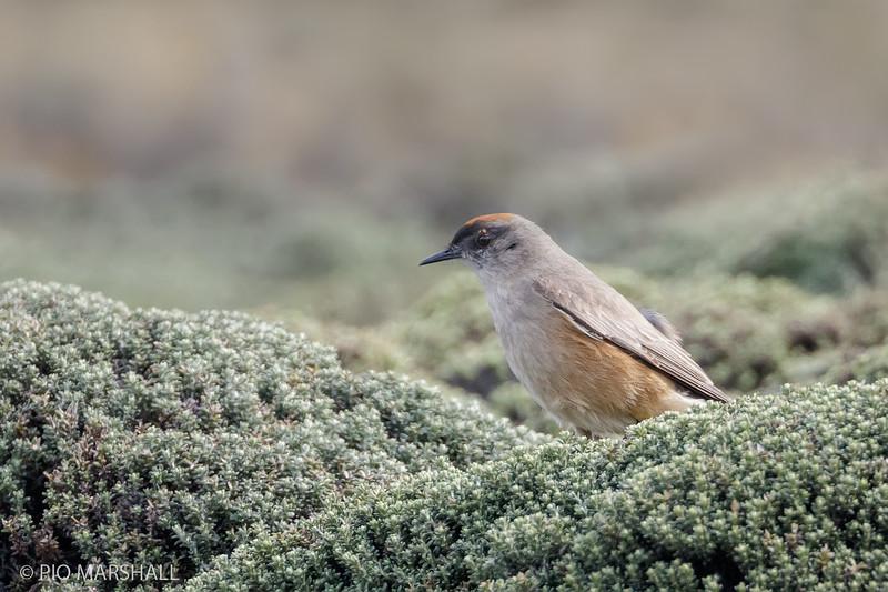 Dormilona rufa |  Muscisaxicola capistratus  |  Cinnamon-bellied Ground-Tyrant