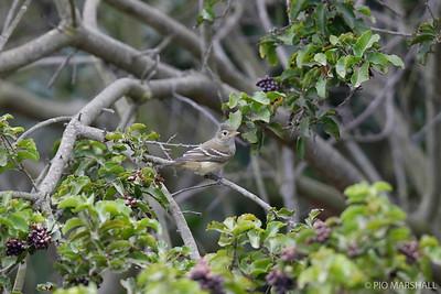 Fío-fío |  Elaenia albiceps  |  White-crested Elaenia
