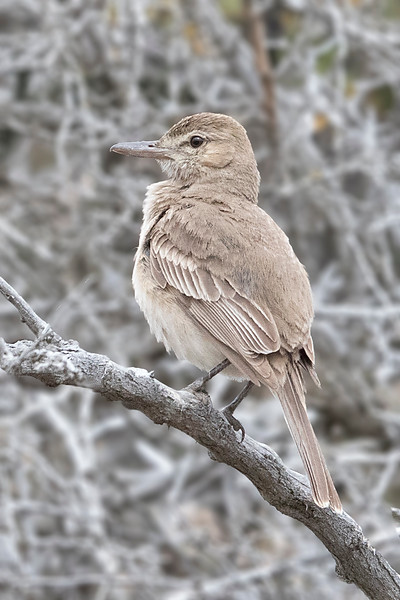 Mero de Tarapacá | Agriornis micropterus | Gray-bellied Shrike-Tyrant