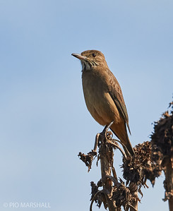Mero grande |  Agriornis lividus  |  Great Shrike-Tyrant