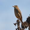 Mero grande    Agriornis lividus     Great Shrike-Tyrant