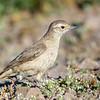 Minero cordillerano |  Geositta rufipennis  |  Rufous-banded Miner