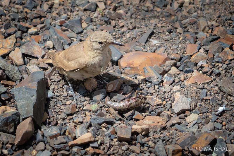 Minero grande |  Geositta isabellina  |  Creamy-rumped Miner