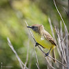 Pájaro amarillo    Pseudocolopteryx citreola     Ticking Doradito