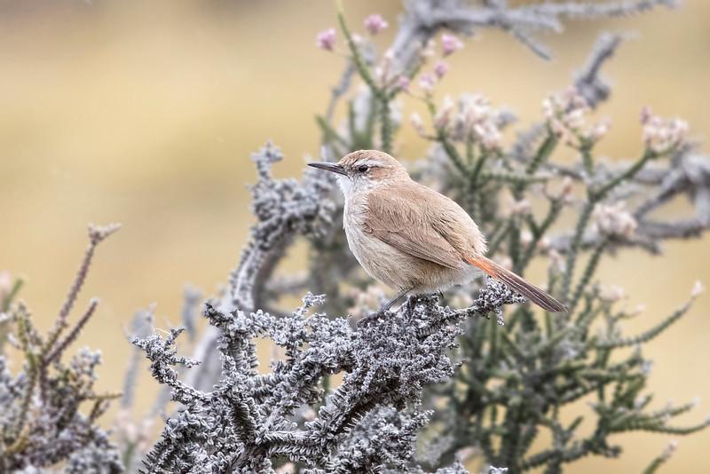 Patagón   Ochetorhynchus phoenicurus   Band-tailed Earthcreeper