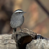 Pitajo gris | Ochthoeca leucophrys | White-browed Chat-Tyrant