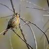 Rara | Phytotoma rara | Rufous-tailed Plantcutter