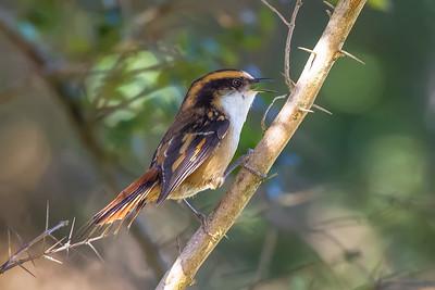 Rayadito   Aphrastura spinicauda   Thorn-tailed Rayadito