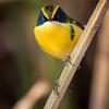Siete colores |  Tachuris rubrigastra  |  Many-colored Rush Tyrant