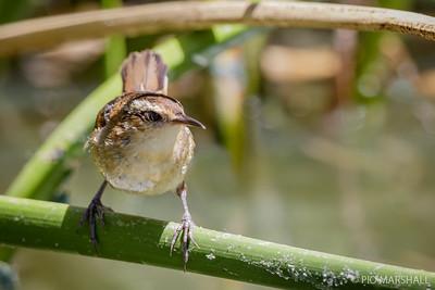 Trabajador |  Phleocryptes melanops  |  Wren-like Rushbird