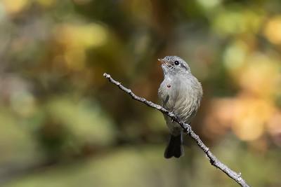 Viudita   Colorhamphus parvirostris   Patagonian Tyrant