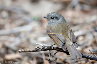 Viudita |  Colorhamphus parvirostris  |  Patagonian Tyrant