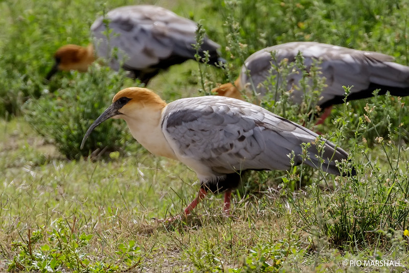 Bandurria de la puna | Theristicus melanopis | Black-faced Ibis
