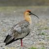 Bandurria/Bandurria de la puna | Theristicus melanopis | Black-faced Ibis