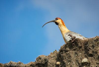 Bandurria comun |  Theristicus melanopis  |  Black-faced Ibis