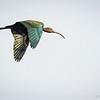 Cuervo de pantano común | Plegadis chihi | White-faced Ibis