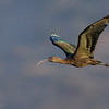 Cuervo de pantano común    Plegadis chihi     White-faced Ibis