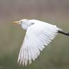 Garza bueyera |  Bubulcus ibis  |  Cattle Egret