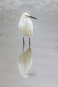 Garza chica    Egretta thula     Snowy Egret