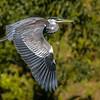 Garza cuca | Ardea cocoi | Cocoi Heron