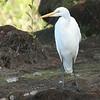 Garza grande |  Ardea alba  |  Great Egret
