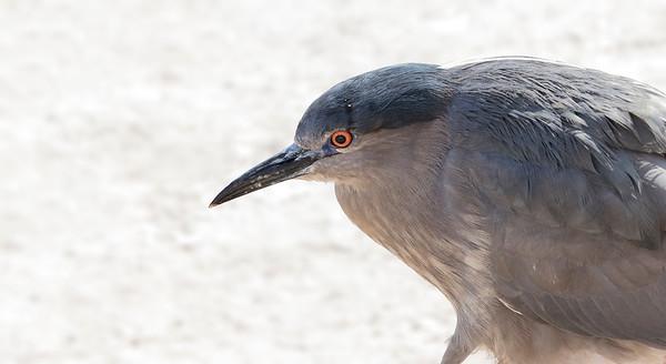 Huairavo común    Nycticorax nycticorax     Black-crowned Night-Heron