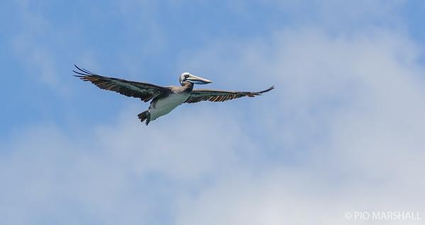 Pelícano de Humboldt    Pelecanus thagus     Peruvian Pelican