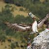 Pelícano de Humboldt | Pelecanus thagus | Peruvian Pelican