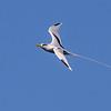 Ave del trópico de cola blanca | Phaethon lepturus | White-tailed Tropicbird