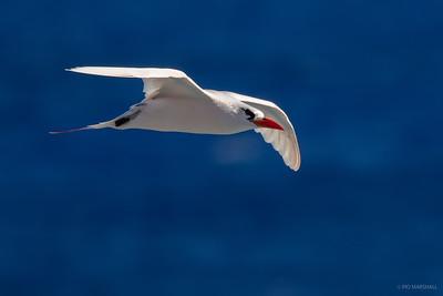 Ave del trópico de cola roja   Phaethon rubricauda   Red-tailed Tropicbird