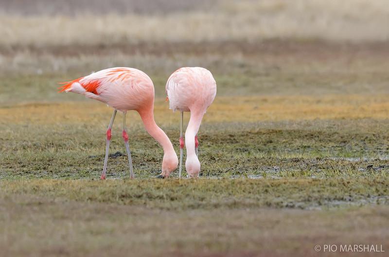 Flamenco chileno    Phoenicopterus chilensis     Chilean Flamingo