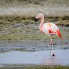 Flamenco chileno |  Phoenicopterus chilensis  |  Chilean Flamingo
