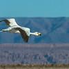 Parina chica | Phoenicoparrus jamesi | James's Flamingo