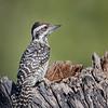 Carpinterito    Dryobates lignarius     Striped Woodpecker