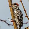 Carpinterito | Veniliornis lignarius | Striped Woodpecker