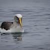 Albatros de Buller |  Thalassarche bulleri  |  Buller's Albatross