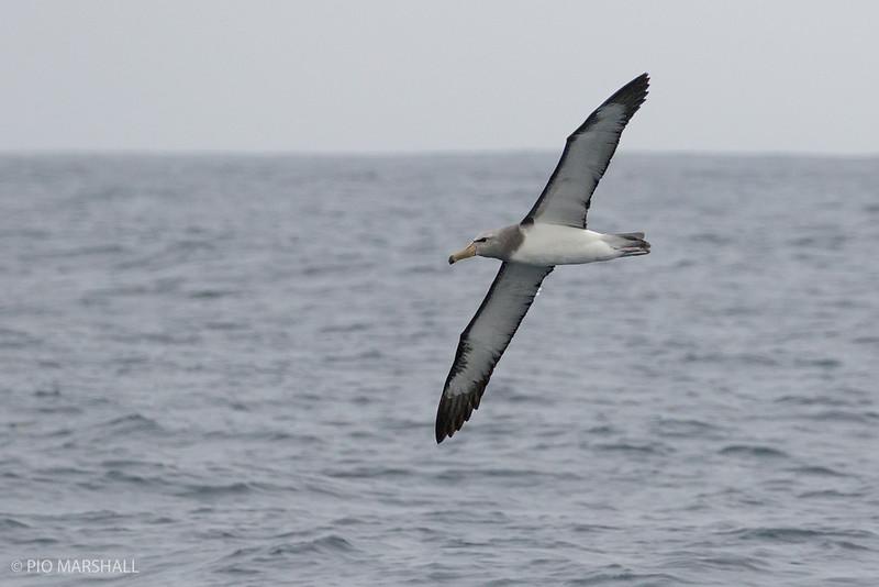 Albatros de Chatham   Thalassarche eremita   Chatham Albatross