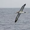 Albatros de Chatham | Thalassarche eremita | Chatham Albatross