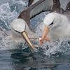 Albatros de Salvin | Thalassarche salvini | Salvin's Albatross