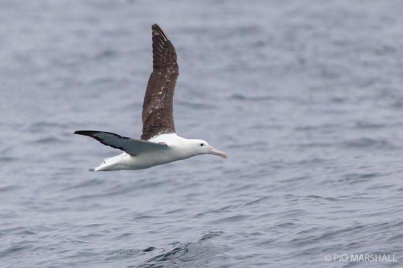 Albatros real del sur |  Diomedea epomophora epomophora  |  Royal Albatross
