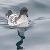 Petrel damero | Daption capense | Cape Petrel