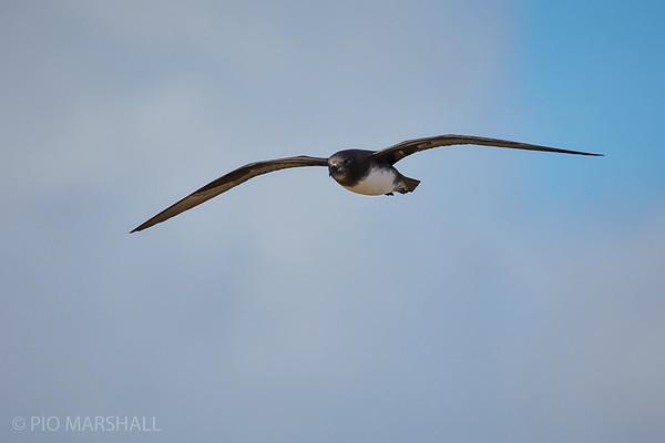 Petrel de Fénix    Pterodroma alba     Phoenix Petrel